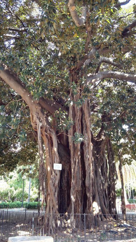 Hatalmas fügefa Valenciában