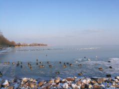 A kacsák már koriznak a Balaton jegén