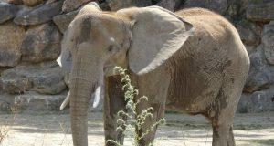 Schönbrunni állatkert elefántja