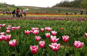 Kőröshegyi levendulás és tulipánok
